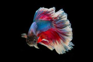 Kampffische Steckbrief Und Haltung Alle Infos