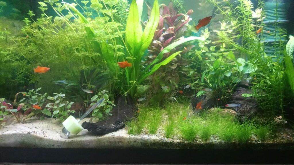 Aquarium mit Platys