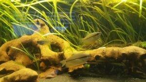 Mosaikfadenfische