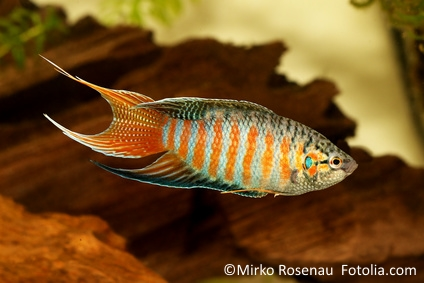 Paradiesfisch