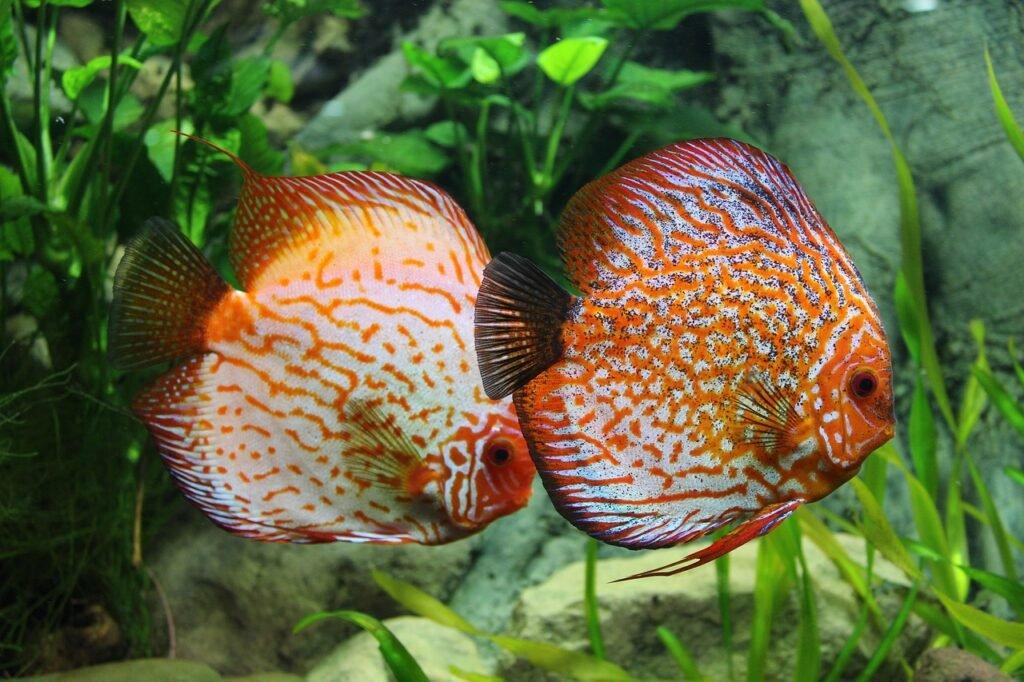 Diskus im Aquarium