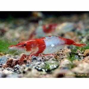Red Rilli