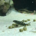 Prachtflossensauger Jungfisch