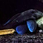Blauer Zwergharnischwels