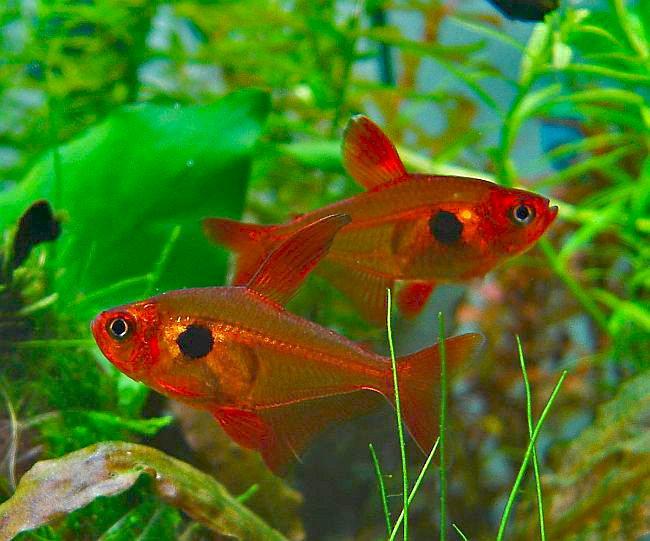 Roter Phantomsalmler im Aquarium