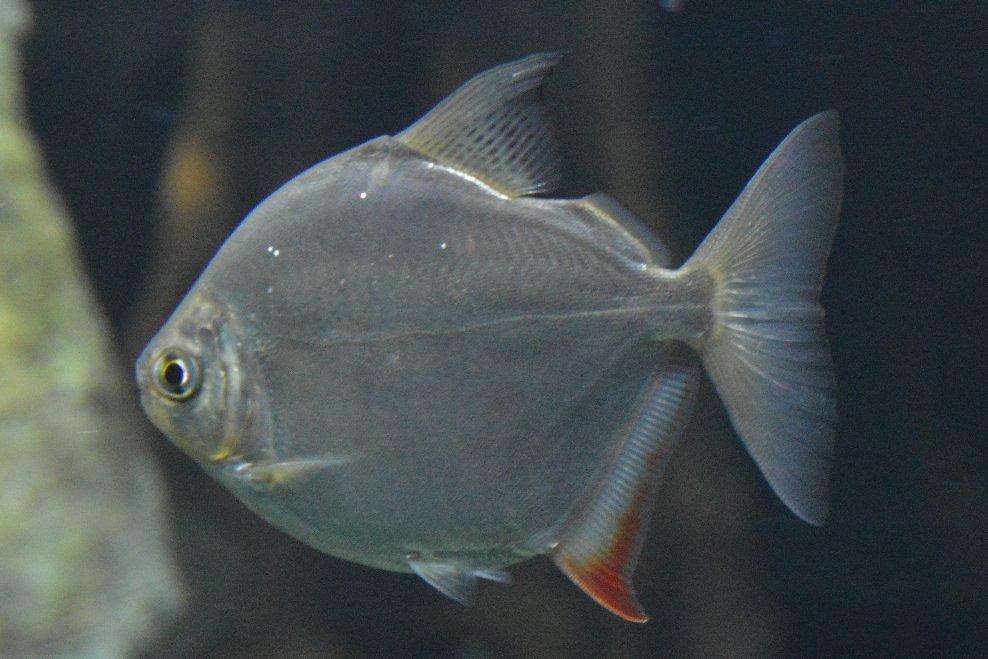 Dickkopf-Scheibensalmler im Aquarium