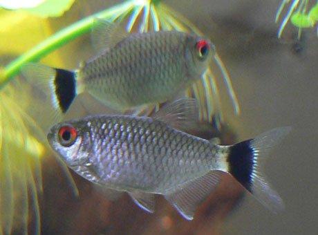 Rotaugen-Moenkhausia im Aquarium