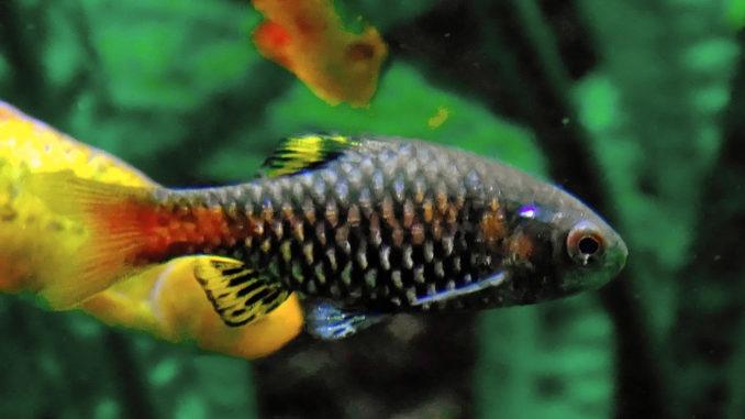 Odessabarbe Weibchen im Aquarium
