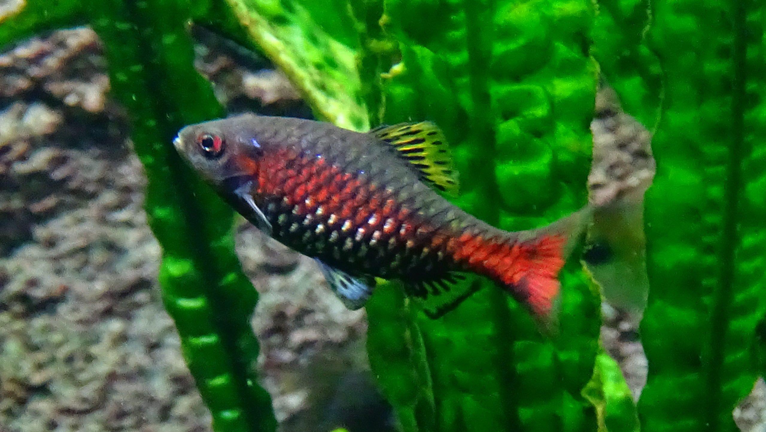 Odessabarbe Männchen im Aquarium