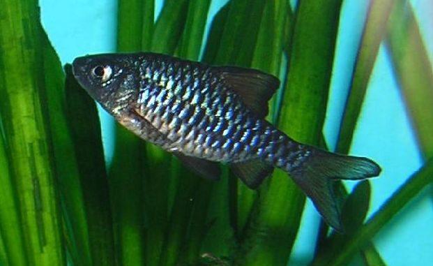 Eilandbarbe im Aquarium