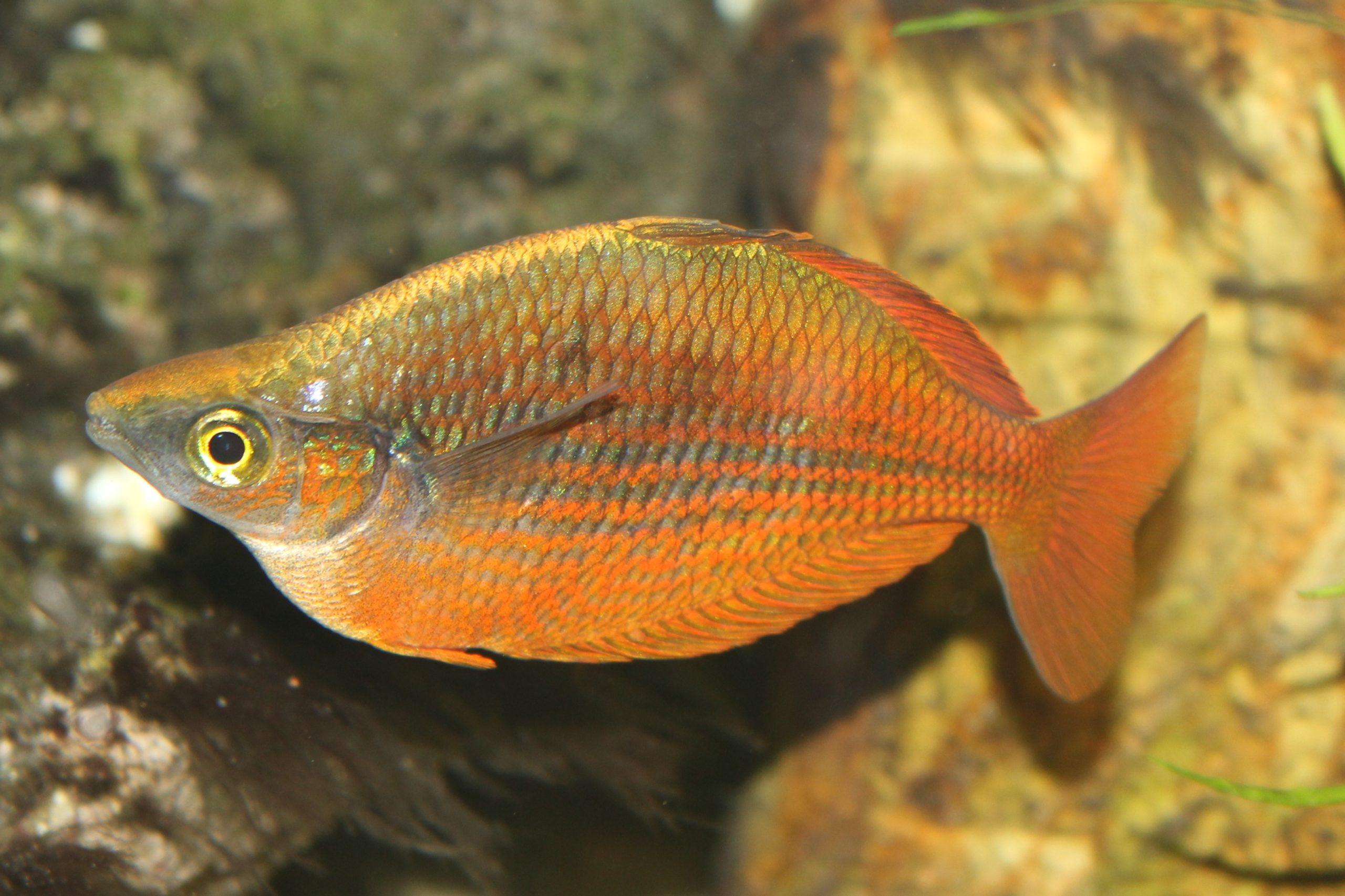 Lachsroter Regenbogenfisch im Aquarium
