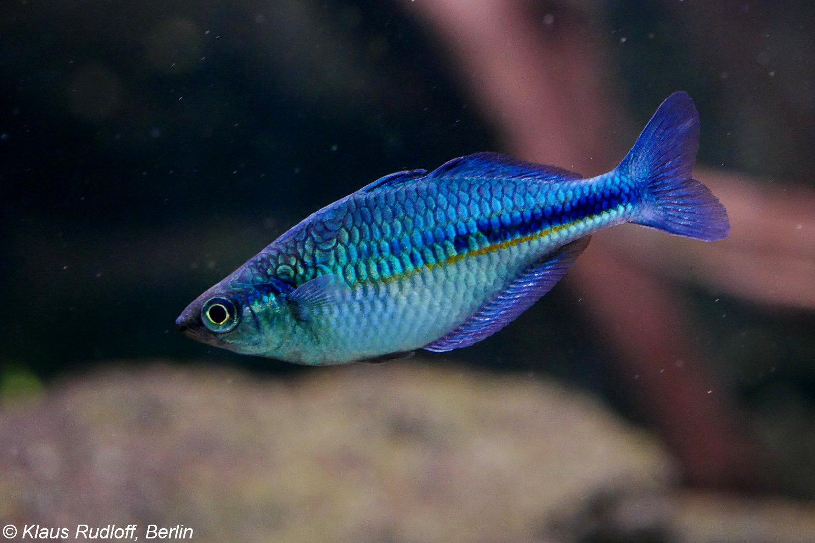 Blauer Regenbogenfisch im Aquarium